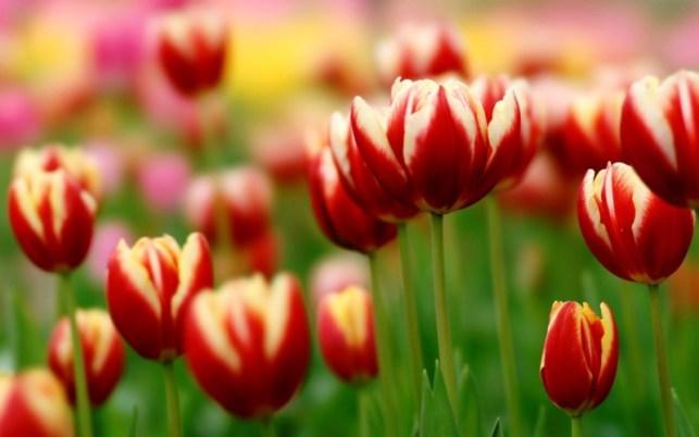 wallpaper gambar bunga tulip indah