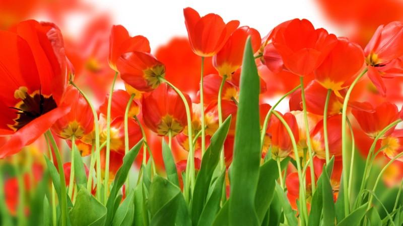 wallpaper gambar bunga tulip merah