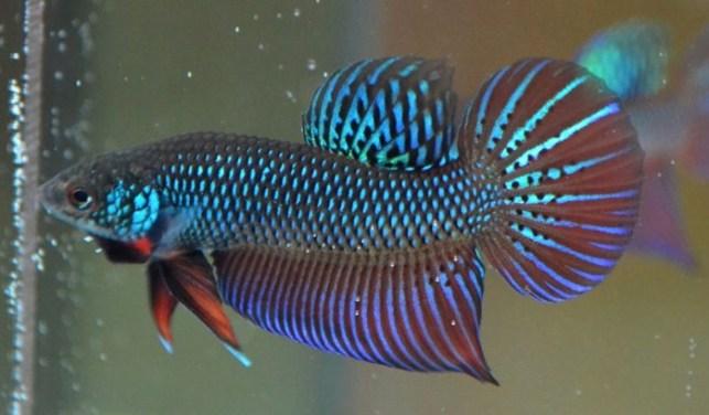 jenis ikan cupang adu smaragdina