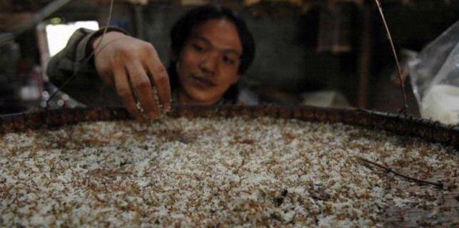 pakan semut rangrang untuk budidaya kroto super