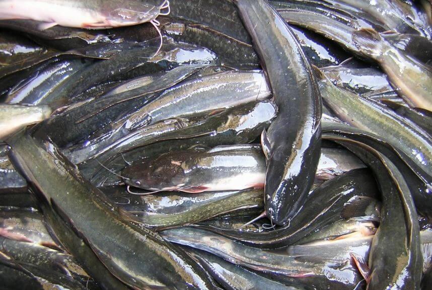 Cara Budidaya Ikan Lele Sangkuriang di Kolam Tanah ...
