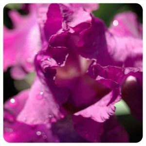 Iris in bloom on SaturdaySoul.com