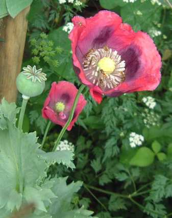 opium poppy group