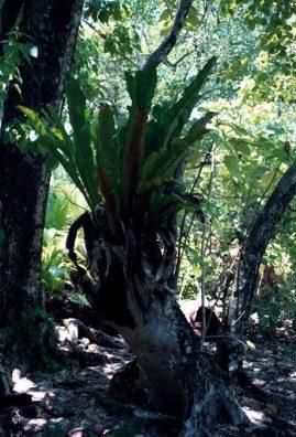 एउटा पोषित गर्ने शाखासँग बरको वृक्ष वृद्धि गर्दै । शीघ्र नै यसको र अधिक शाखाहरु र जराहरु को फूट निस्किन्छ ।