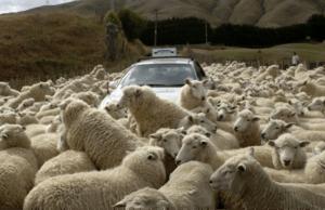 Новая Зеландия. Несчитанное количество овец