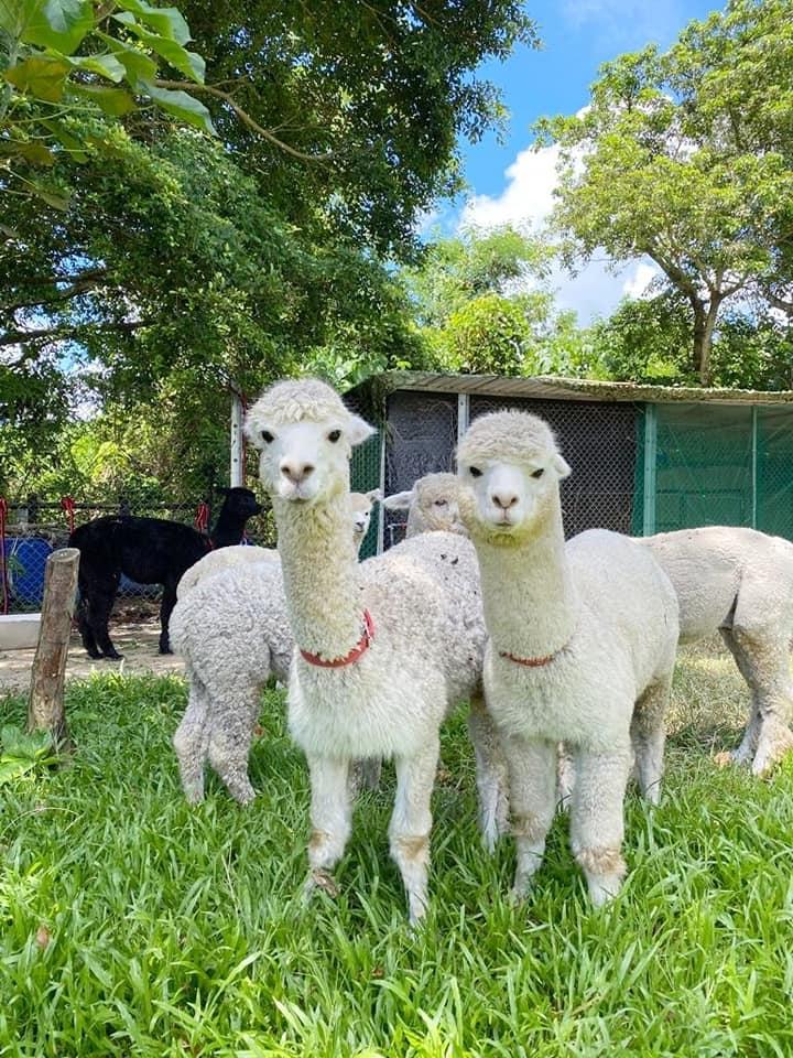 園內有 6 隻澳洲羊駝(圖片來源:FB@蝶豆花園 Butterfly Valley)