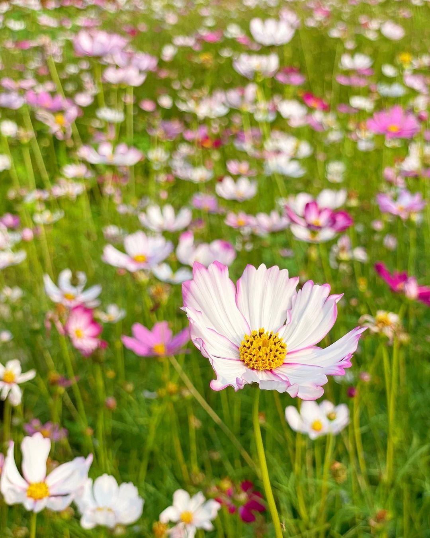 粉紅格桑花正植花期(圖片來源:IG@ca3sandra)