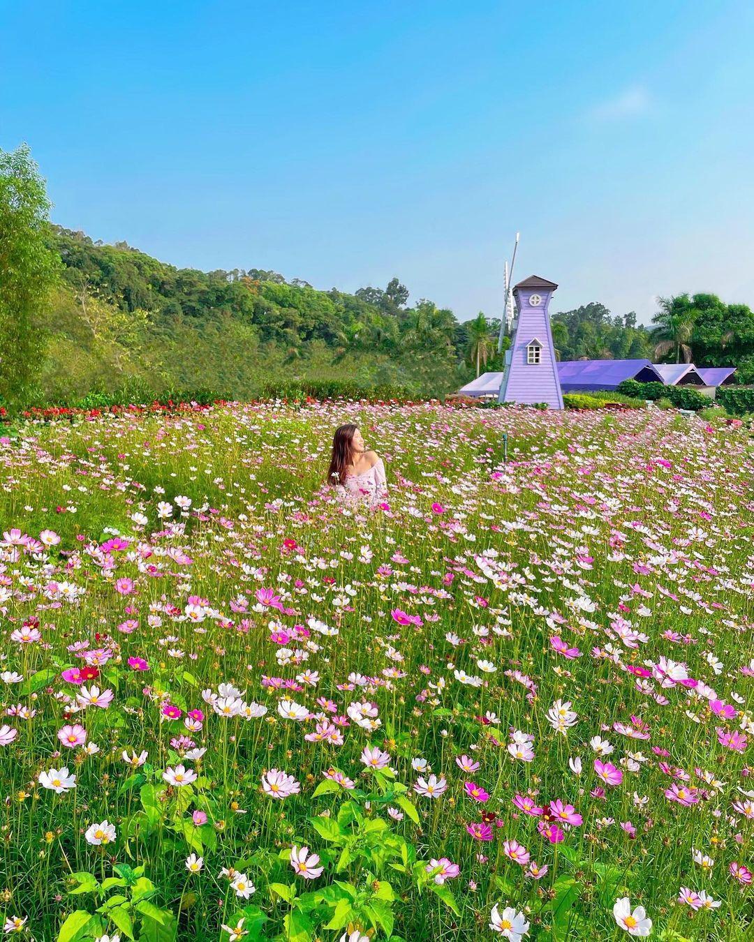 仿佛身處外國旅行的粉紅花田,係蝶豆花園就有啦!(圖片來源:IG@ca3sandra)