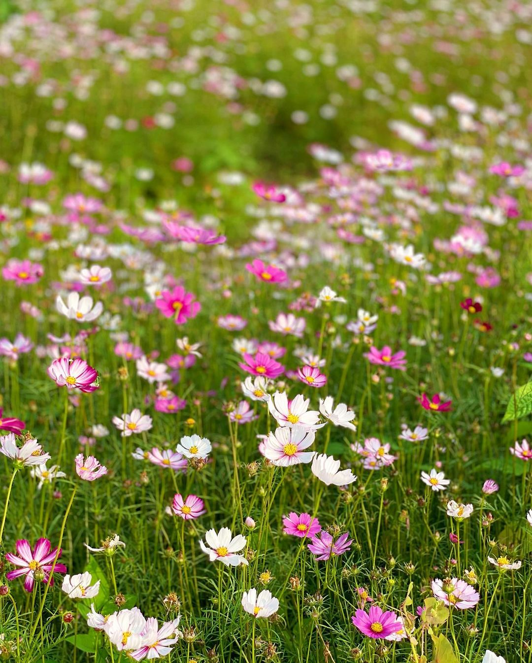 想打卡歐洲感的郊外聖地,走到花田的中間被千朵粉紅格桑花包圍,寫意地影靚相啦📸(圖片來源:IG@ca3sandra)