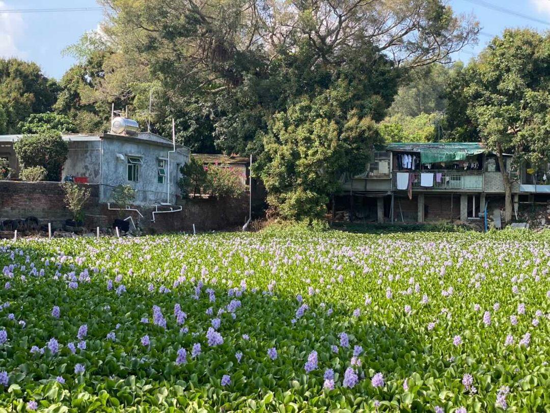 鳳眼藍是水生植物,花期十分短,而且日光照射才會盛開,大家要捕捉 11 時後的時間去賞花呀~(圖片授權轉載:IG@pinkywu20)