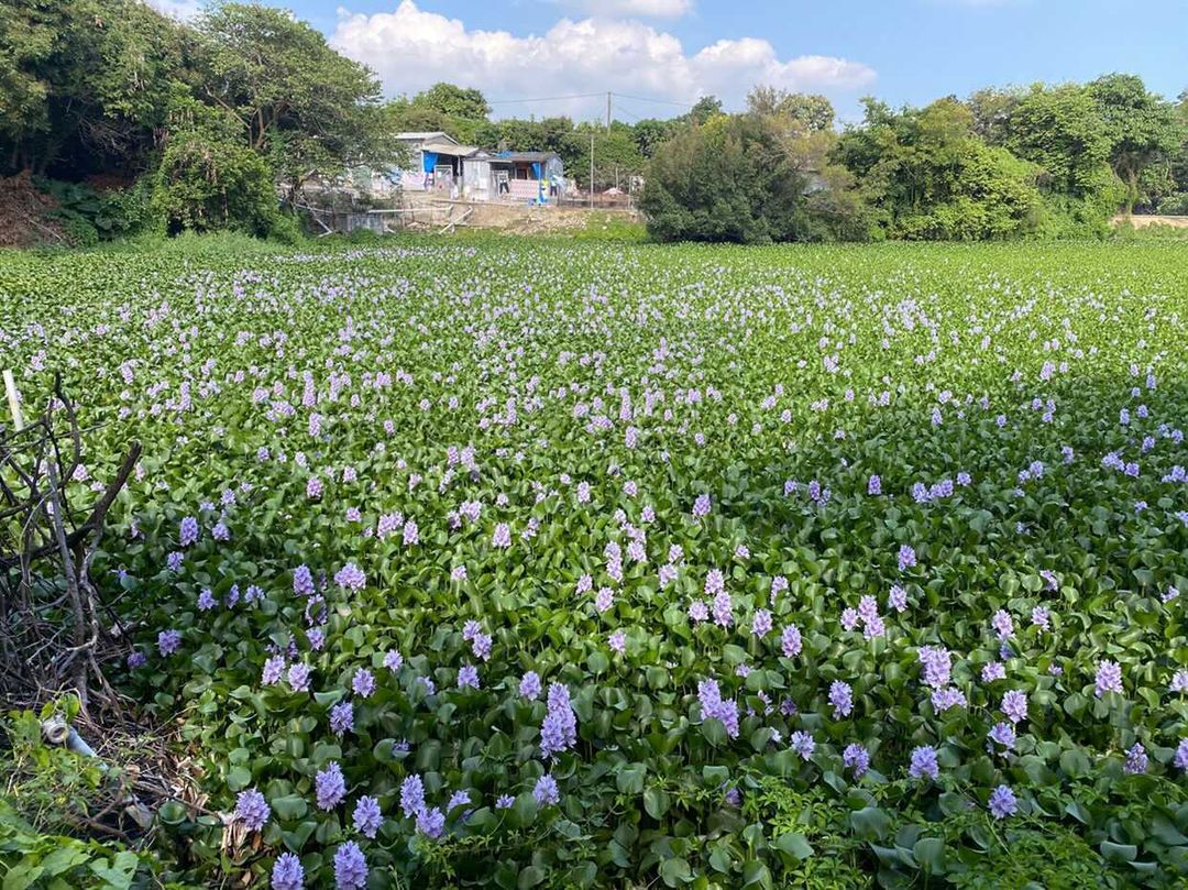 上水的梧桐河附近有著一片穩世的鳳眼藍花田,人跡稀少不用和其他人擠擁。(圖片授權轉載:IG@pinkywu20)