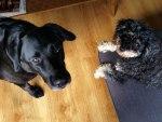 Portugese hondjes | Saudades de Portugal