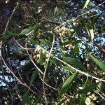 Van olijfboom tot olijfolie in de Algarve
