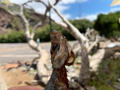 Arco da Calheta: Octopus | Saudades de Portugal