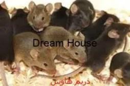 طرق مكافحة الفئران المنزلية بإستخدام وسائل عديدة تقضي عليها