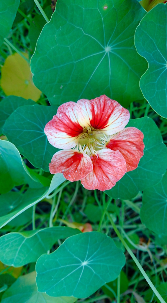 Edible flowers - nasturtium