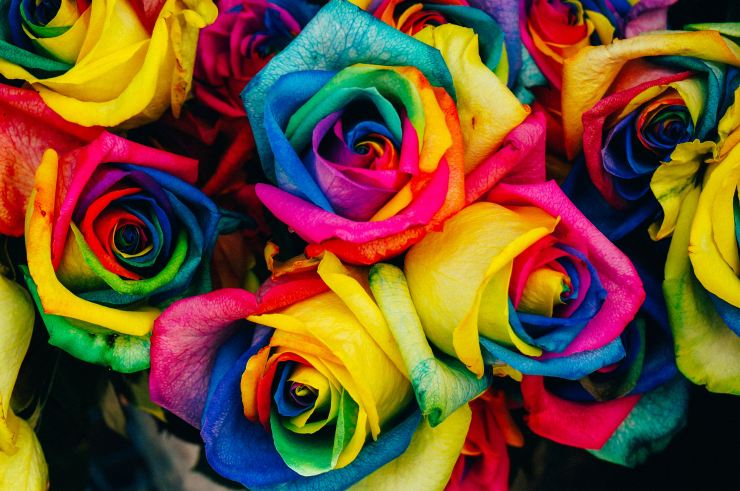 Rainbow colored roses for support of the LGBTQ+ community