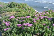 Pink Ice Plant