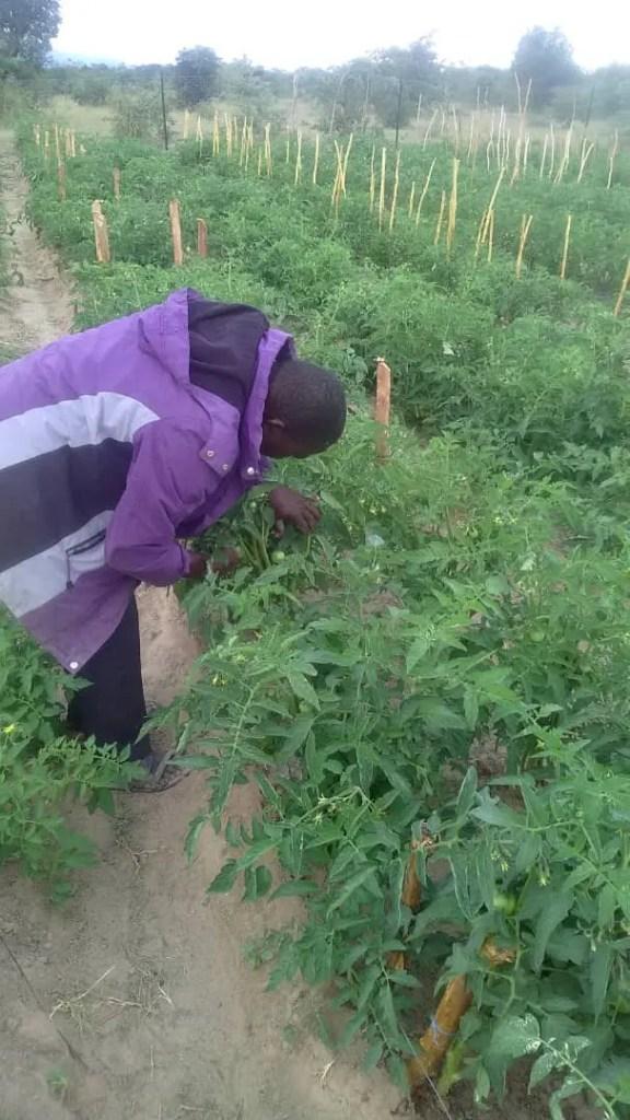 Mabasa Sithole (59) a member of Tapudza garden in Gutu inspects tomato plants: Photo Credit: Tavonga Chikwaya/ Oxfam Zimbabwe 2020