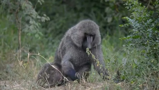 S_ex starved g_ay baboon returns to terrorize village men