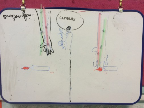 première représentation des nerfs sensitifs (travail de groupe)