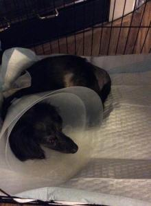 At home in his Cone Of Shame, and the crate he likes