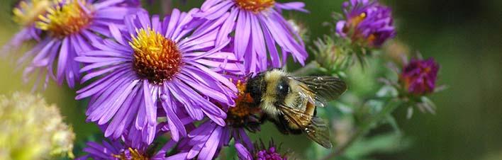 Pollinatorsbaffinissusancarpenter710px