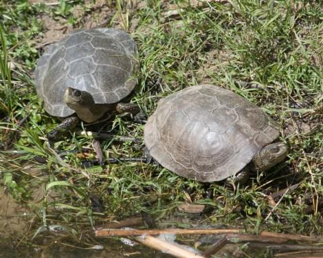 Western Pond Turtles