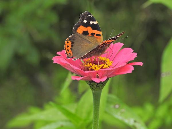 Indian Red Admiral on Zinnia