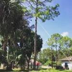 Tree Removal and Stump Grinding in Loxahatchee and West Palm - Call 561-513-87883 | SaveMore Tree Service