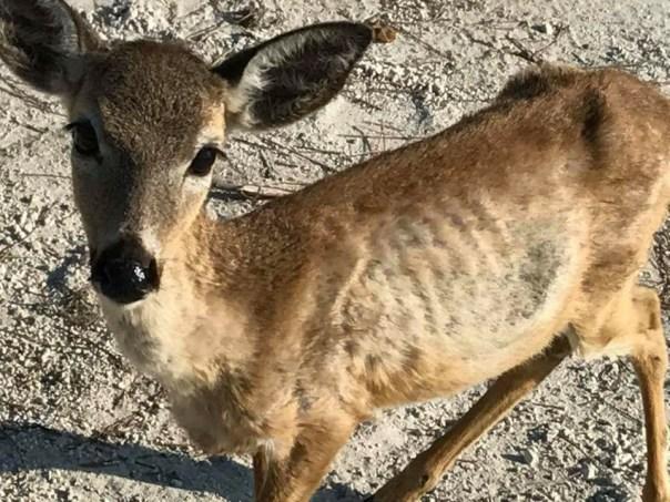 Sick Key Deer April 2018