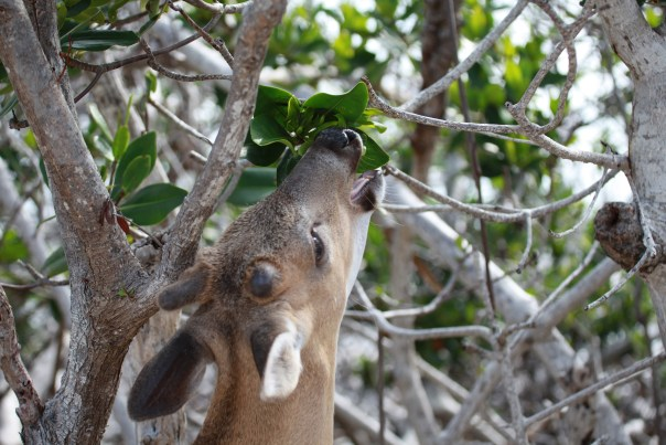 Phoenix EATING red mangrove