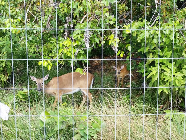 Fence patch deer
