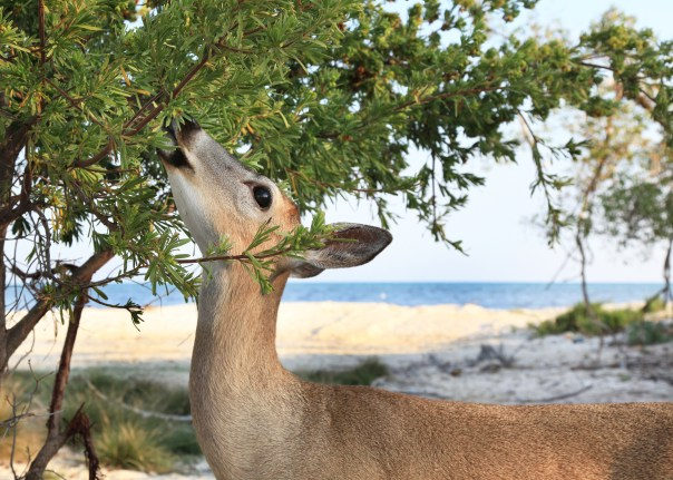 doe eating plant