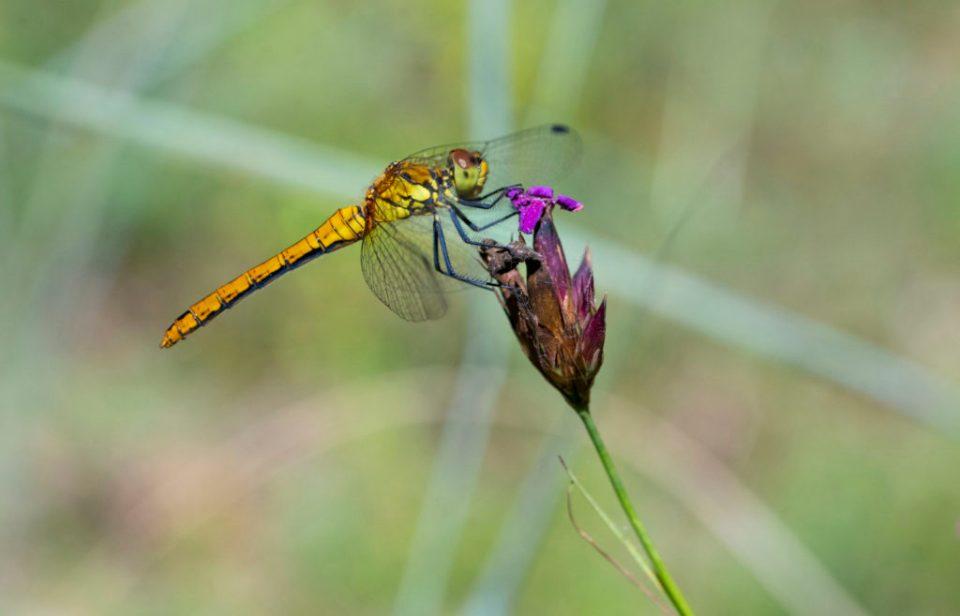 https://i2.wp.com/savepolesia.org/wp-content/uploads/2020/04/DTR7304_Dragonfly-1024x657.jpg?resize=960%2C616&ssl=1