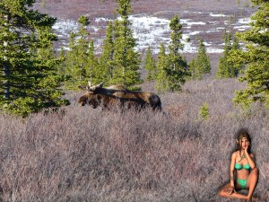 VisionMax impedes the growth of mosses and lichens which the Moose feed on during the winter