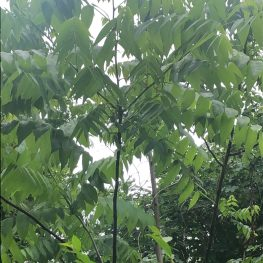 The Nightmare That is The Chinse Tree of Heaven