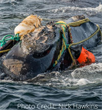 North Atlantic right whales: their greatest risks are entanglements in commercial fishing gear and vessel strikes.