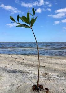 Adopt a Mangrove