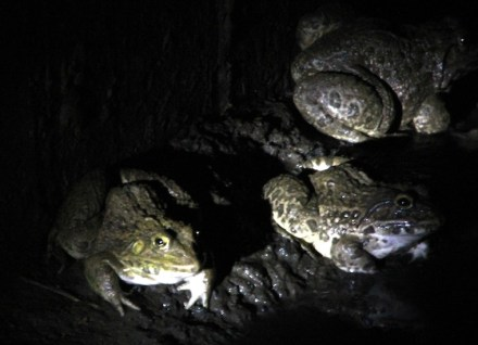 Save The Snakes, Eastern Ghats, Bull Frog