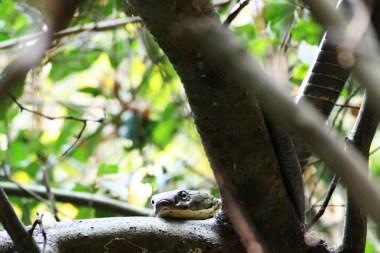 thailand, save the snakes, king cobra, snake