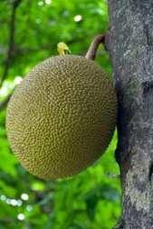 jacquier À la découverte du mystérieux fruit du jacquier