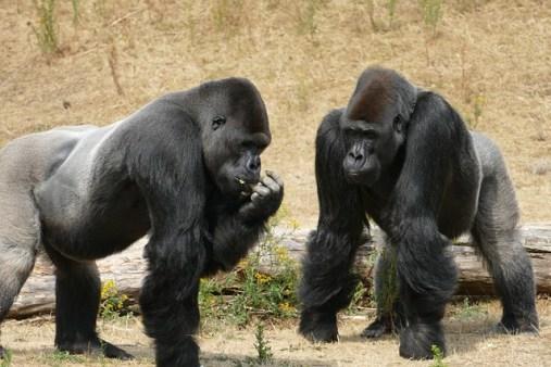gorilles-préjugés
