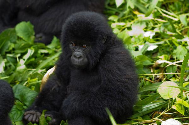 http://s3.amazonaws.com/mongabay-images/14/0203.800px-Virunga_Mountain_Gorilla_.600.jpg