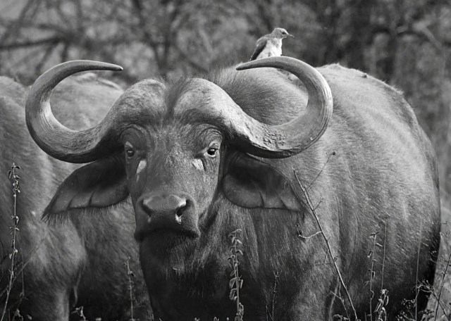 water-buffalo-1024x731