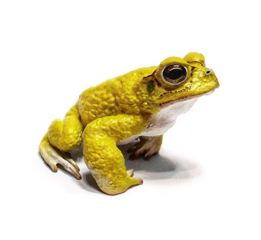 Neotropical Yellow Toad (Incilius Luetkenii) Model