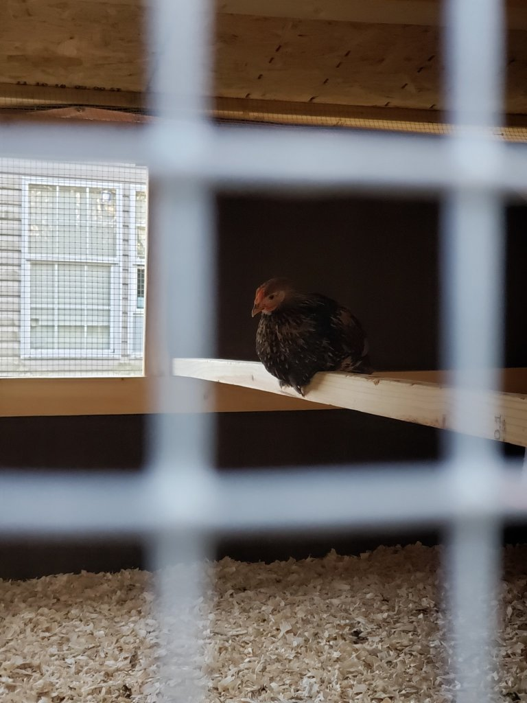 photo of chicken on a roost bar inside the chicken coop