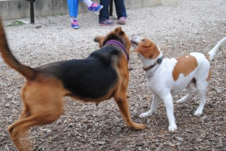The beagle loved to play and run with her...