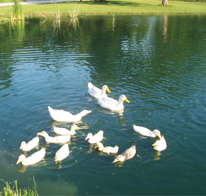 Ducks swimming on the pond at Pam's home.