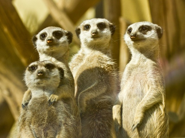 Meerkat family of four members